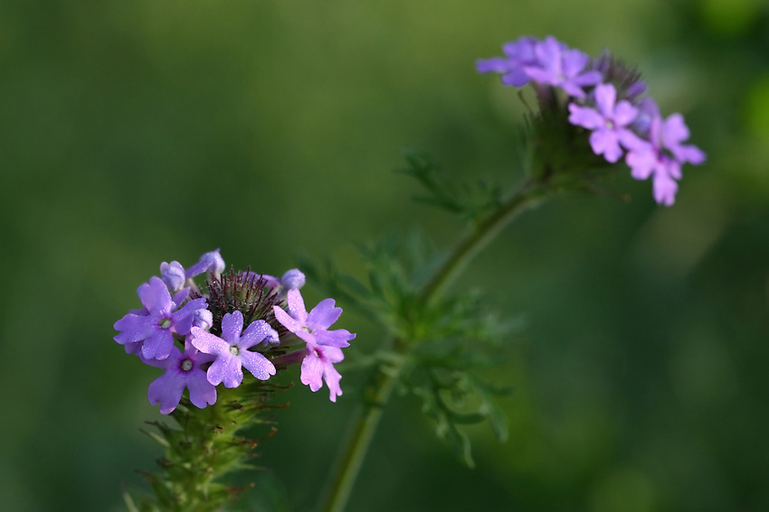 "The Verbena Wildflower has gently rounded clusters of bilaterally symmetrical pink, lavender, or purple flowers bloom atop stems with highly divided leaves. The Spanish name, Moradilla, comes from morado (""purple"") and means ""little purple one."""