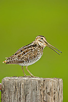Wilson's Snipe calling during breeding season, Oregon