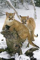 Puma kittens on a tree stump in the falling snow - CA