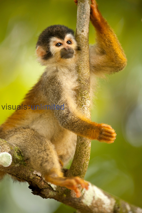 Squirrel Monkey (Saimiri oerstedii citrinellus), Costa Rica