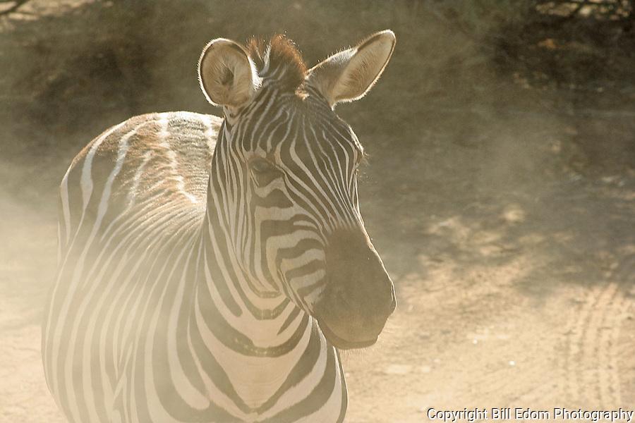Dusty Zebra