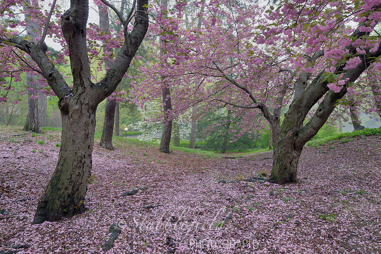 Cherry Tree (Prunus sargentii) with fresh pink flowers in Spring in New York City's Central Park.