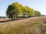 Line of trees in early autumn leaf in chalk landscape, Yatesbury, Wiltshire, England, UK