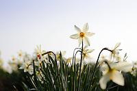 Narcissus 'Lucifer'