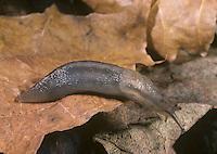Tree Slug - Limax marginatus
