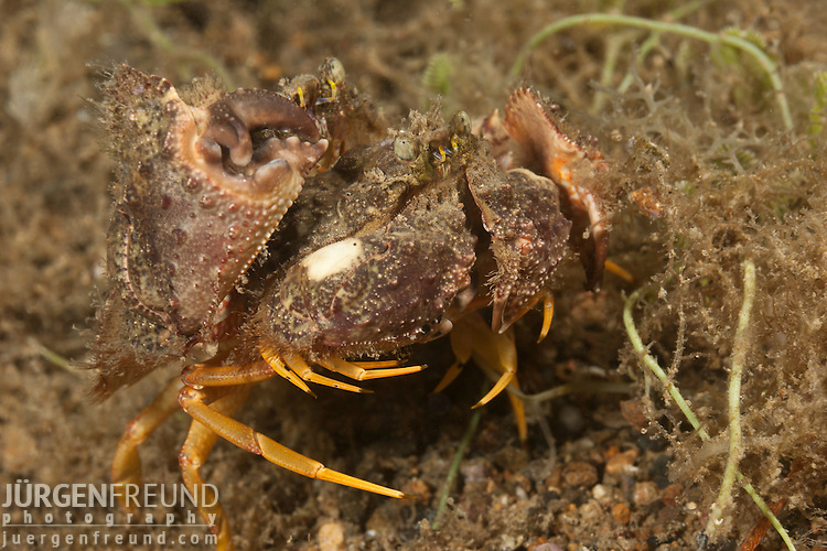 Mating box crabs. They were together for more than 10 minutes and when all was over, wiggled and dug themselves back into the sand.  Anilao, Batangas, Philippines 28 March 2010