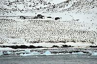 Field of Penguins