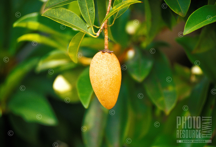 Sapodilla fruit on tree, Frankies nursery, a fruit tree specialist, Waimanalo, Oahu
