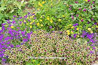 63821-19815 Flower garden with Lava Rose Trailing Coleus (Solenastemon scutellarioides), Tapien Pink Hybrid Verbena (Verbena hybrid) New Gold Lantana (Lantana camara) Globe Amaranth (Gomphrena globasa)  Marion Co, IL