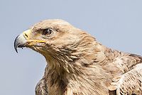 Head portrait of Tawny Eagle in profile against the blue sky in the Masai Mara Reserve, Kenya, Africa (photo by Wildlife Photographer Matt Considine)