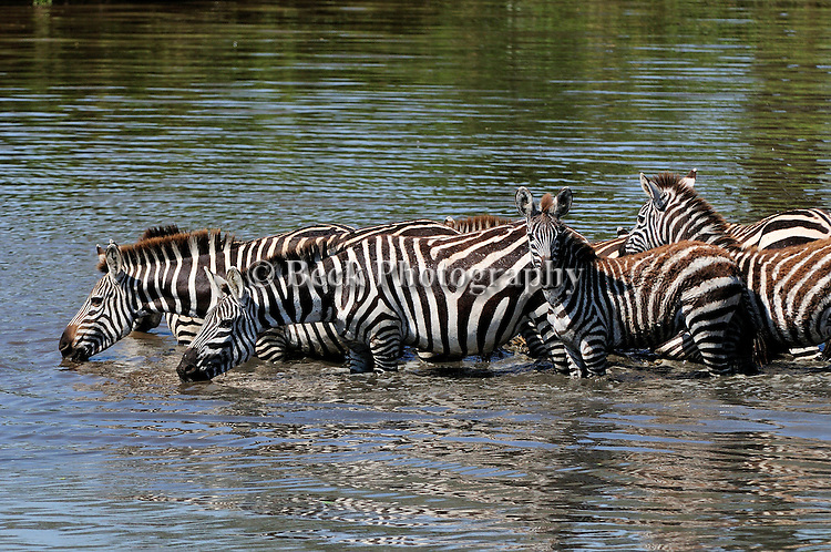A herd of zebras move into the river for a drink in Africa.