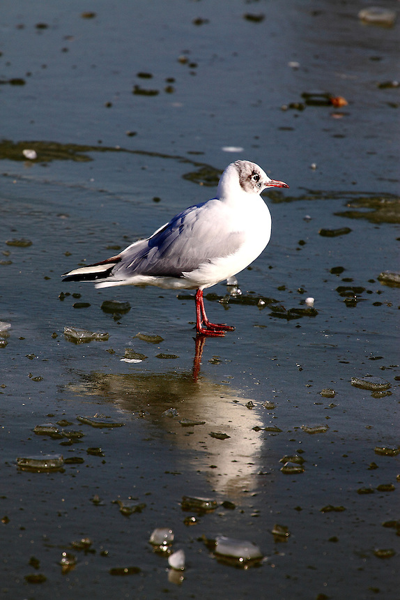 In the centre of Paris, just after the snow: a seagull walking on ice with a beautiful reflected image.Digitally Improved Photo.
