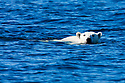 Norway, Svalbard, polar bear swimming across fjord
