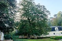 France, Indre-et-Loire (37), Rigny-Ussé, château et jardin d'Ussé en octobre, grand tilleul à petites-feuilles (Tilia cordata)