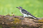 Male hairy woodpecker foraging in northern Wisconsin.