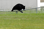 06/01/11--An adult black bear hops over a fence from the soccer fields at Tualatin Elementary School to an open field....Photo by Jaime Valdez..........................................