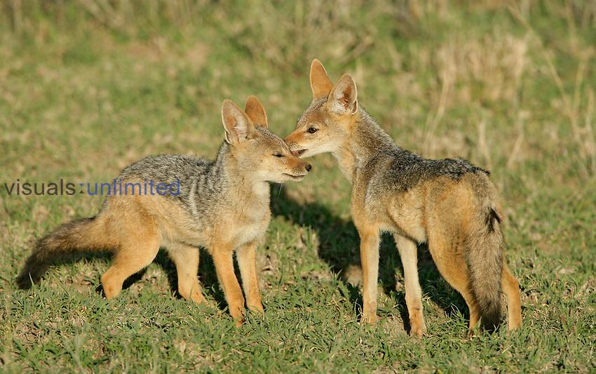 Silver-backed Jackals adult kissing young, Ndutu, Tanzania