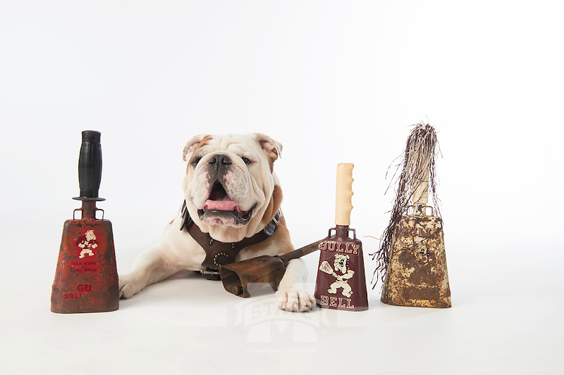 Champ (Bully XX) in studio with cowbells (photo by Beth Wynn / © Mississippi State University)
