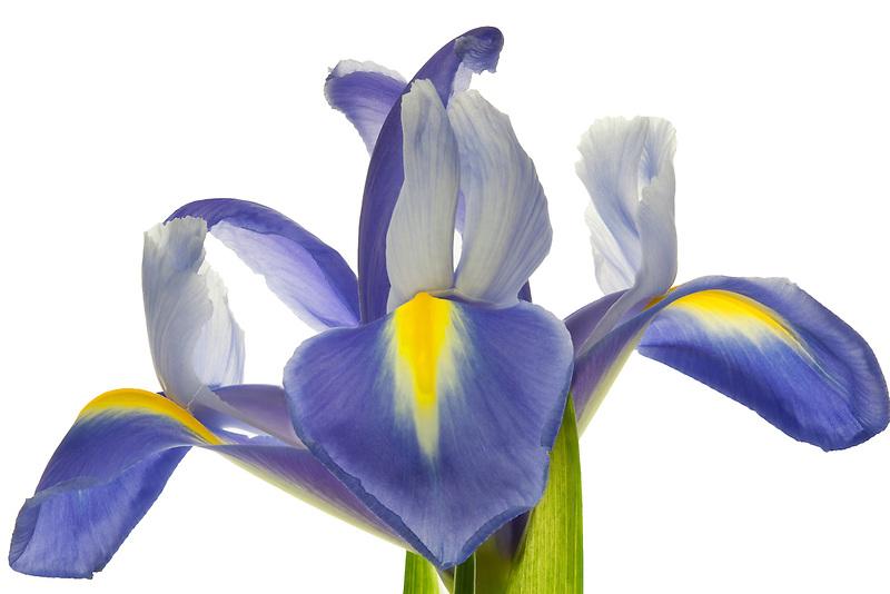 Close up of Iris.