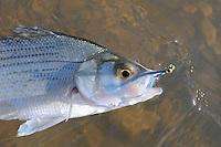 NWA Democrat-Gazette/FLIP PUTTHOFF <br /> A Clouser minnow is a top choice for catching white bass with a fly rod.
