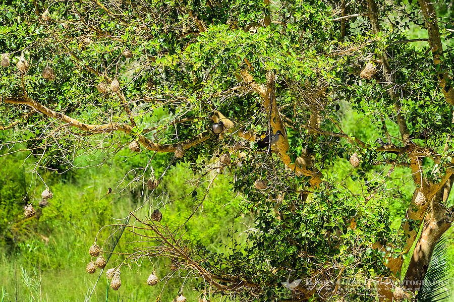 Hadada Ibis and Lesser Masked Weavers in a tree. Hluhluwe-Umfolozi Game Reserve, South Africa.