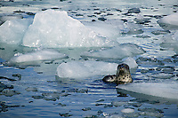 A Harbor Seal on the ice flow from Aialik Glacier, Kenai Fjords National Park, Alaska