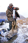 John Cox Weighing Anesthetized Coyote