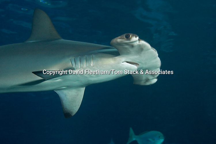 Scalloped hammerhead shark, Sphyrna lewini, Hawaii.