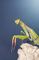 Gottesanbeterin, Europäische Gottesanbeterin, Fangschrecke, Portrait, Porträt, Mantis religiosa, Praying Mantis, Fangschrecken, Mantodea, mantises, mantes, mantid, mantids, Mante religieuse, mantoptères