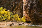Fall colors on trees in the Virgin River Narrows, Zion National Park, Utah