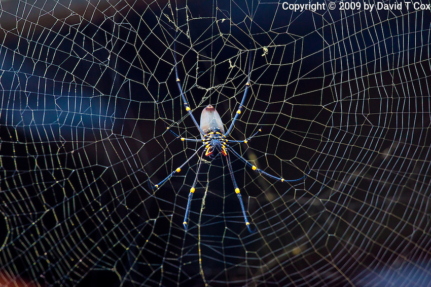Orb Spider, S Mission Beach, Queensland, Australia