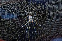 Orb Spider, S Mission Beach, Queensland, Australia