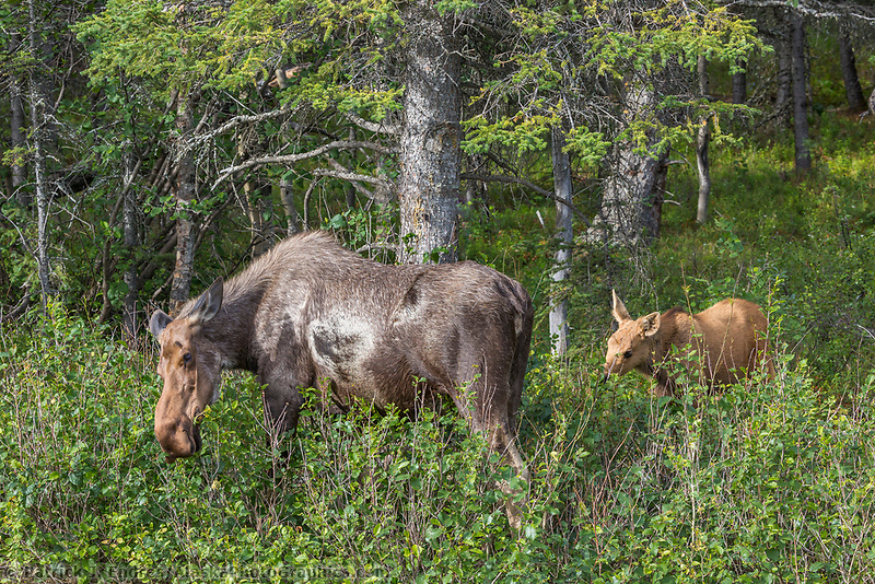 Moose feed on fresh vegetation, Denali National Park