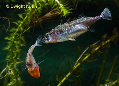 1S47-512z Threespine Stickleback, male courting gravid female with a zigzag dance, she responds with a head-up posture to display her swollen belly, Gasterosteus aculeatus