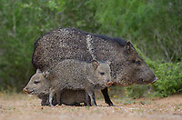 650520320 wild javelinas or collared peccaries dicolytes tajacu forage near a waterhole on santa clara ranch in starr county rio grande valley texas united states