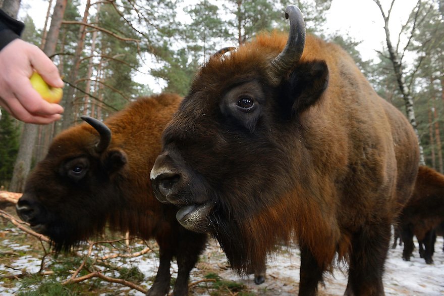 Artur Furdyna feeding apples to wild  European bison, Bison bonasus, Drawsko Military area, Western Pomerania, Poland.