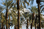 Date palms in Coachella Valley
