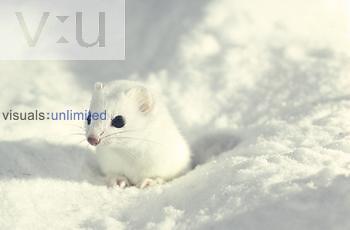 Long-tailed Weasel in winter