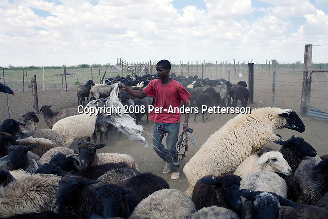KOICHAS, NAMIBIA MARCH 25: An unidentified farm worker handles sheep on March 25, 2008 on a rural farm in Koichas, Namibia. Mr. Biwa, the black owner, has been one of the beneficiaries of recent land reform in Namibia, which gives land back to the black population. He farms Karakul sheep. (Photo by Per-Anders Pettersson/Getty Images)..