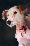 The injured dog which is now staying at Collon animal sanctuary..See Pat Flanagan for copy.