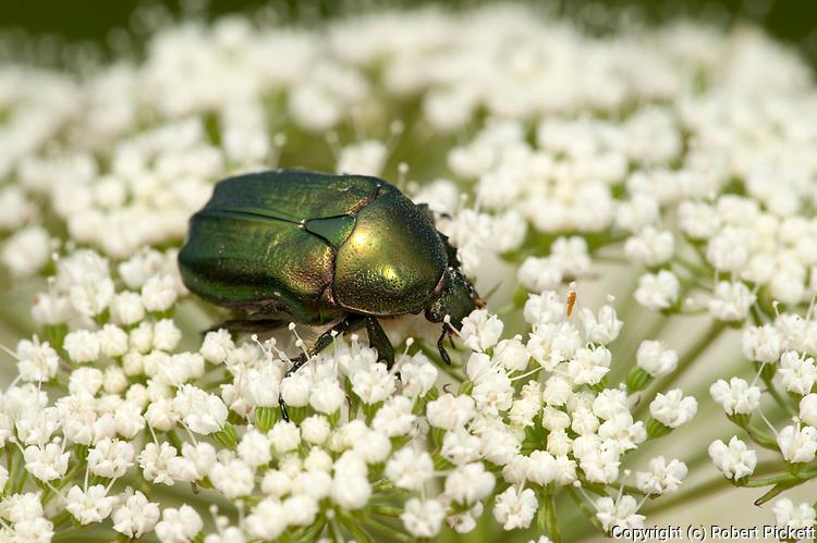 Chafer Beetle, Cetonia cuprea, feeding on flower, Brasov-Buzau, Romania