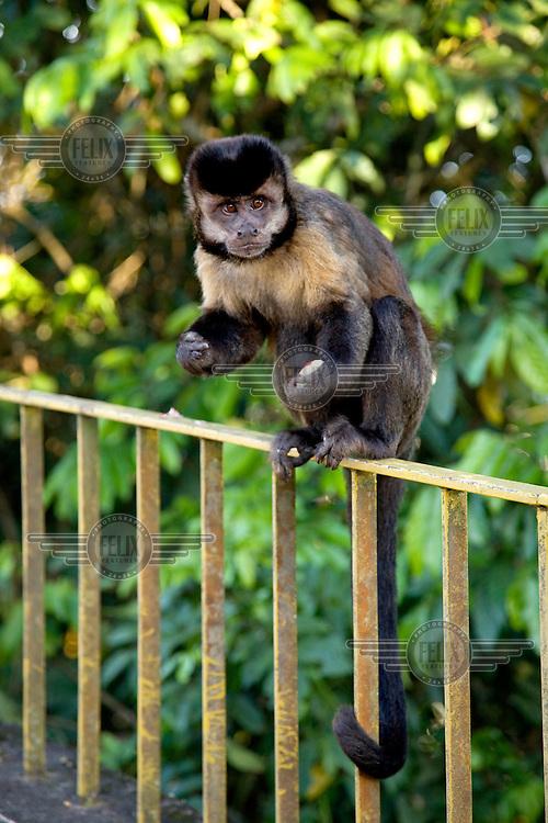 A Robust capuchin monkey sits on a rail at the Santa Marta viewpoint.