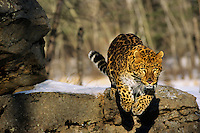 Amur leopard or Korean Leopard (Panthera pardus orientalis), Endangered Species.  Winter.