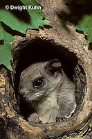 MA29-022z   Flying Squirrel - in a nest cavity - Glaucomys sabrinus