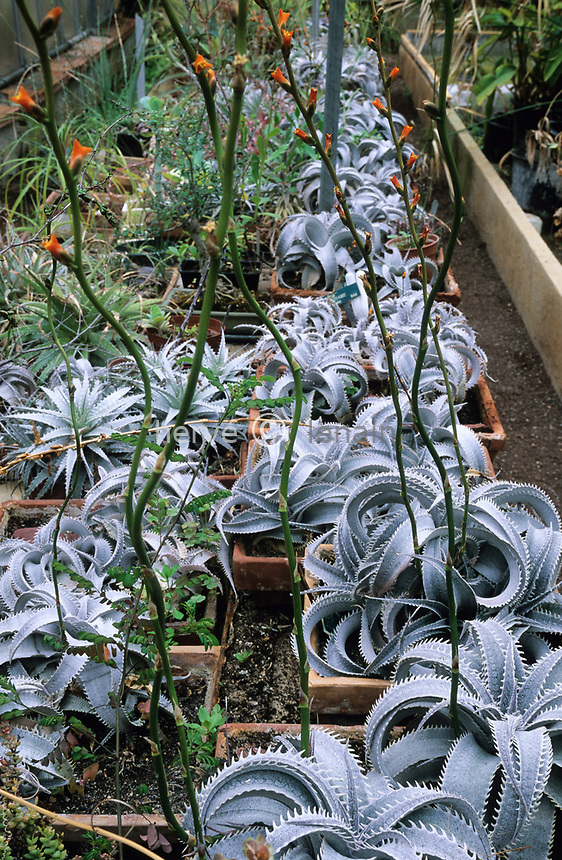 06/ Jardin botanique &quot;Les Cèdres&quot;<br /> Culture de Dyckia marnier-lopostollei (plante dédiée à Julien Marnier-Lapostolle)