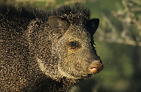 Collared Peccary, Javelina, Tayassu tajacu, adult, Starr County, Rio Grande Valley, Texas, USA