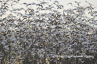 00754-02715 Snow Geese (Anser caerulescens) flying from wetland at sunrise Marion Co. IL