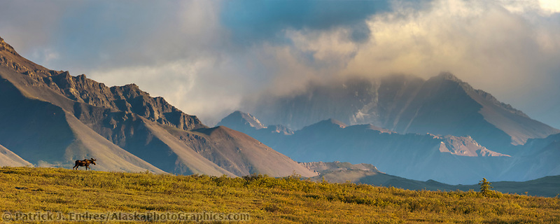 Panorama of bull moose on a mountain ridge, Alaska Range mountains, Denali National Park, Alaska.