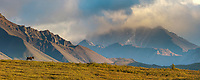 Panorama of bull moose on a mountain ridge, Alaska Range mountains, Denali National Park, Alaska.