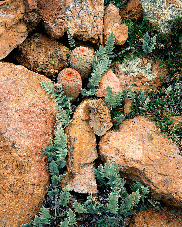 Rainbow Cacti (Echinocereus pectinatus) and ferns in the Coronado National Forest, AZ